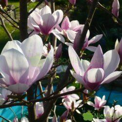 Nawożenie magnolii zapewnia obfite kwitnienie. Fot. Niepodlewam