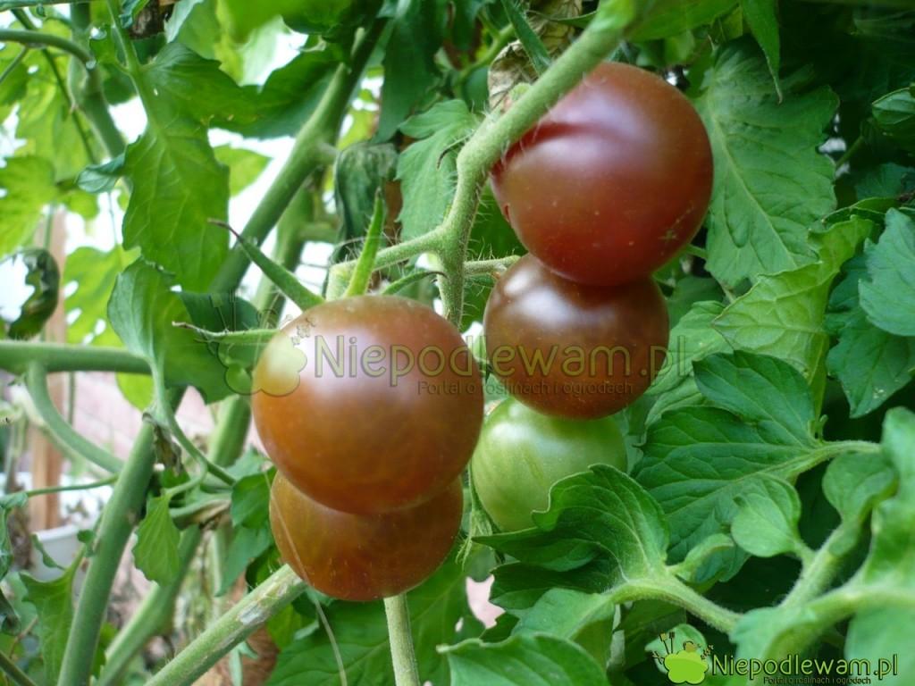 Czarne pomidory ma odmiana Black Cherry. Fot. Niepodlewam