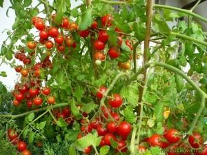 pomidory pokusa