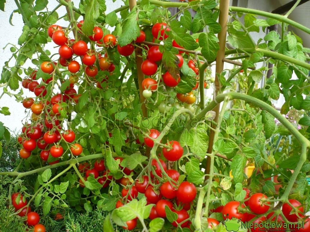 Pomidory potrzebują dużo słońca. Wtedy mają smaczne, pachnące owoce. Na zdjęciu jest odmiana Pokusa. Fot. Niepodlewam