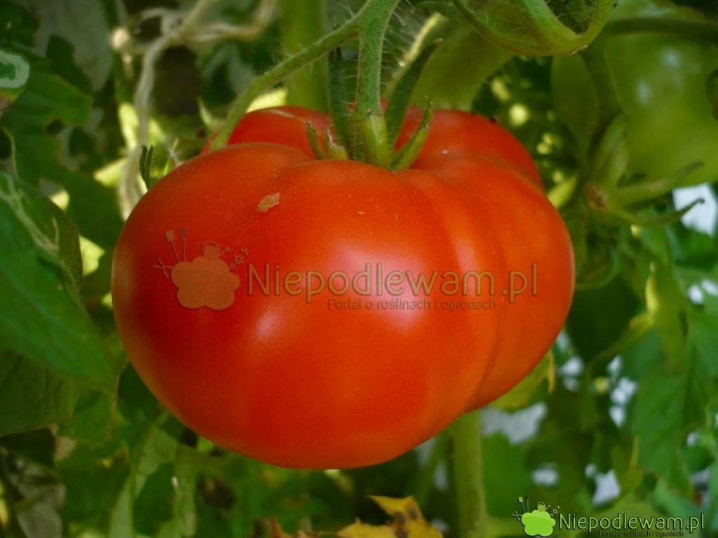 Pomidor Malinowy Olbrzym. Fot. Niepodlewam