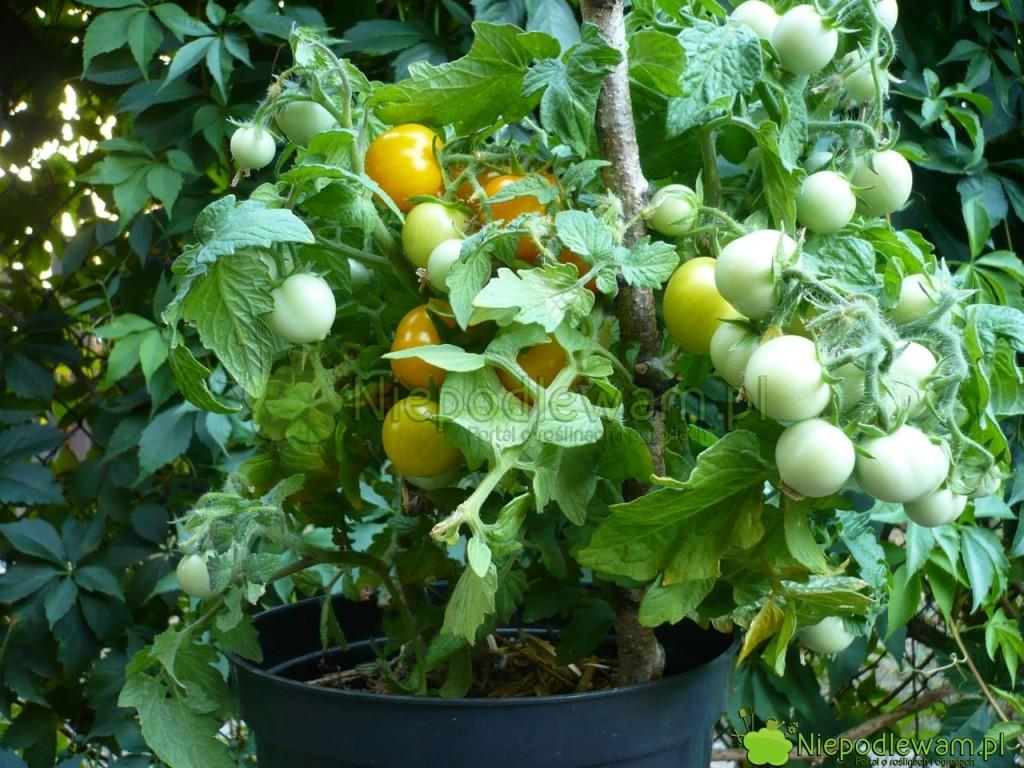 Pomidor Aztek to karzełek. Jednak i tak musi mieć podporę, bo przewraca się pod ciężarem owoców. Fot. Niepodlewam