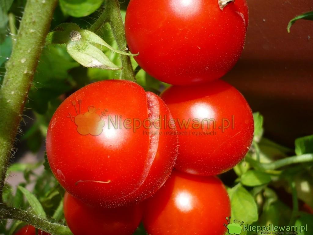 Ten pomidor miał najpierw za sucho, a następnie został obficie podlany. Efekt: pęknięte owoce. Na zdjęciu jest odmiana Maskotka. Fot. Niepodlewam