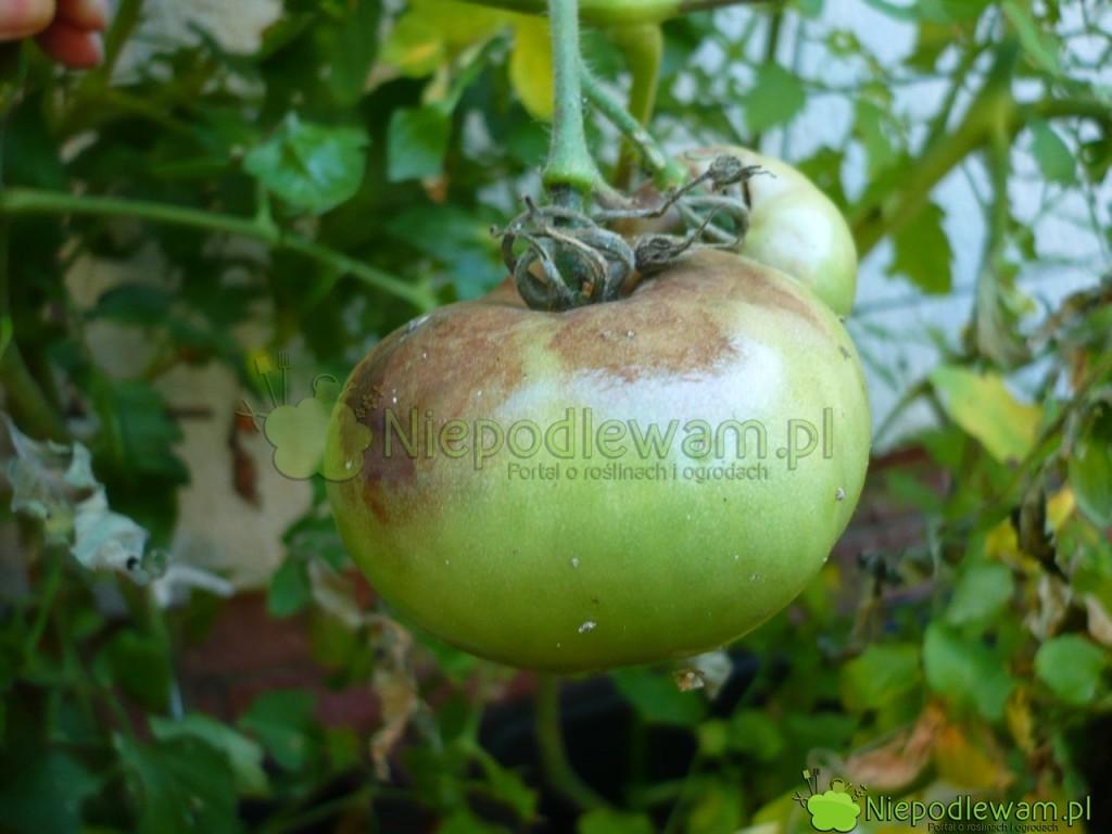 Zaraza ziemniaka na pomidorze. Fot. Niepodlewam