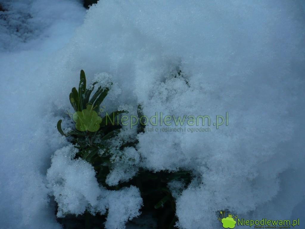 Rozmaryn lekarski pod śniegiem. Fot. Niepodlewam