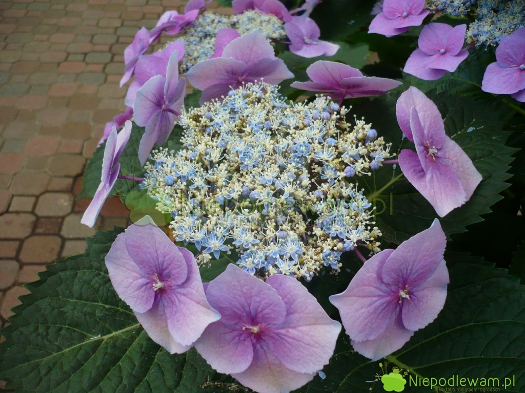 Hortensja ogrodowa Lace Cap jest dwukolorowa. Tylko niektóre kwiatki zmieniają kolor na niebieski. Fot. Niepodlewam