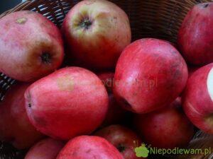 Jabłoń Gołąbek Natuzjusza to stara odmiana. Jest bardzo rzadka. Rys. Niepodlewam na podstawie rycin z XIX wieku