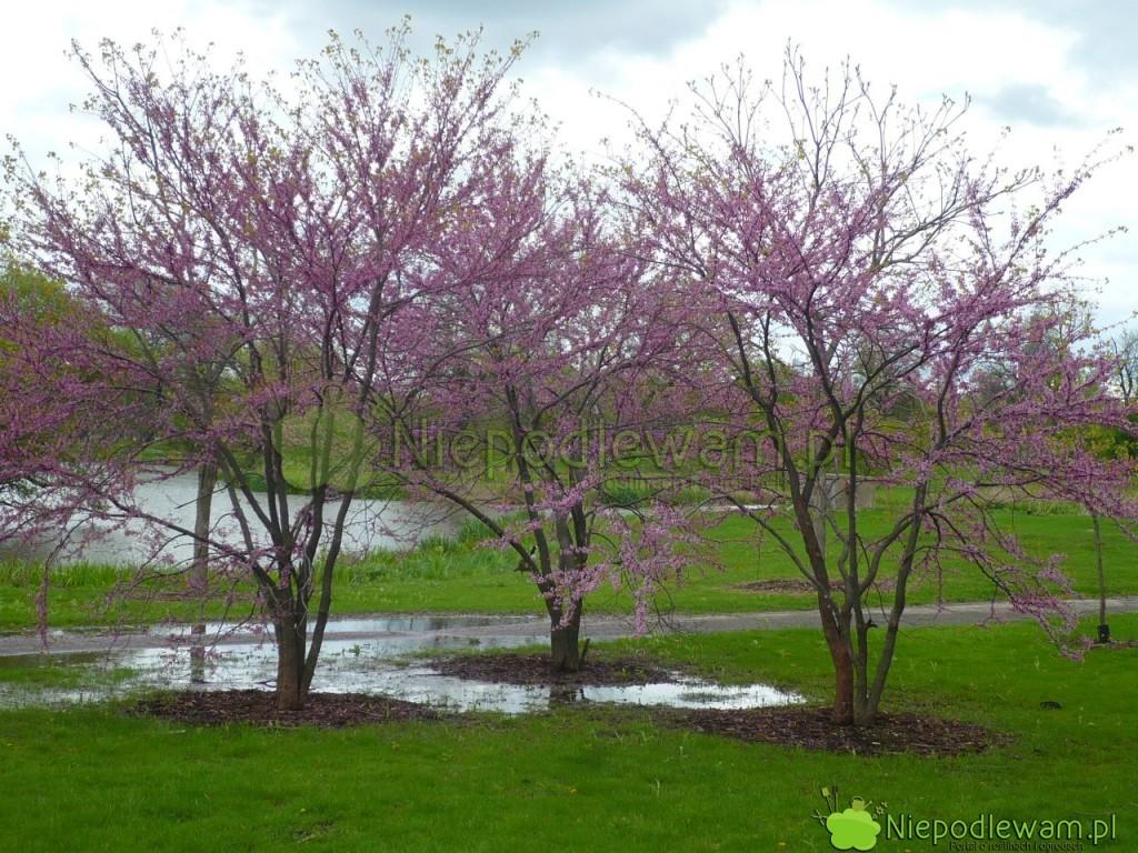 Te judszowce kanadyjskie bywają zalewane wiosną i po burzach. Mimo to rosną dobrze. Fot. Niepodlewam