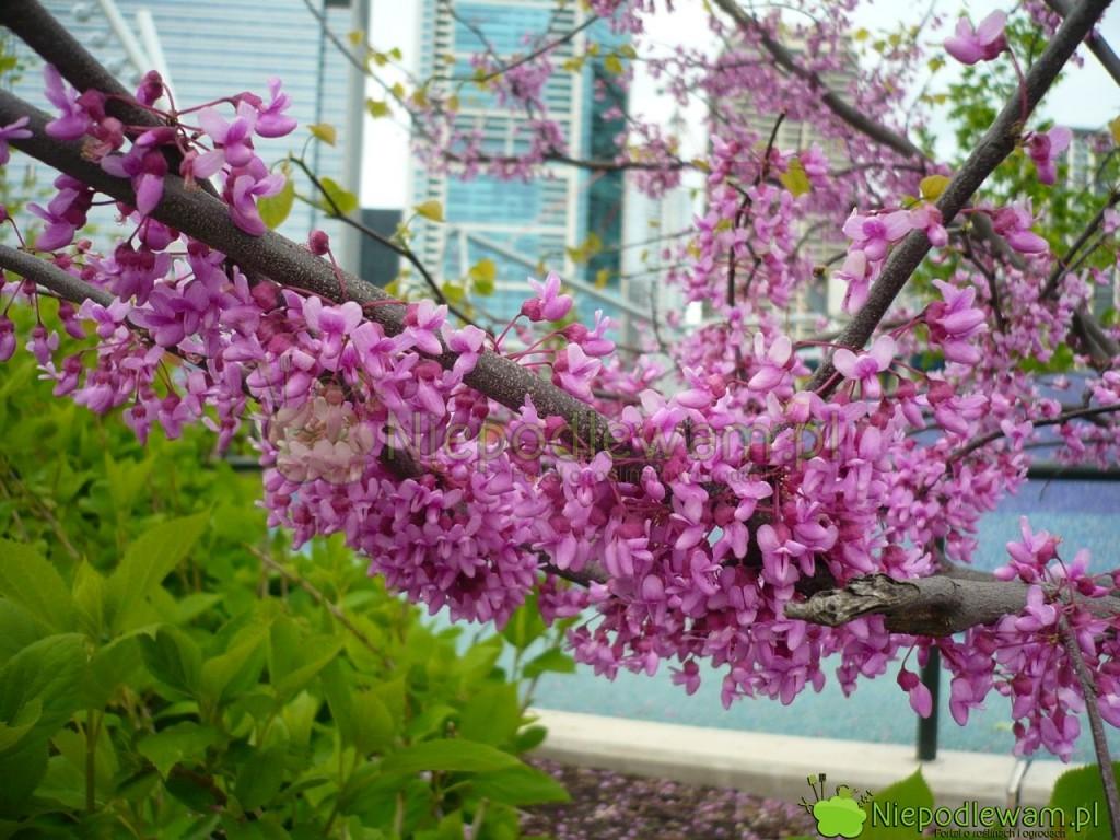 Judaszowiec kanadyjski ma tysiące kwiatków wyglądających jak przylepione do gałęzi. Dobrze znosi miejskie zanieczyszczenia i mróz. Fot. Niepodlewam