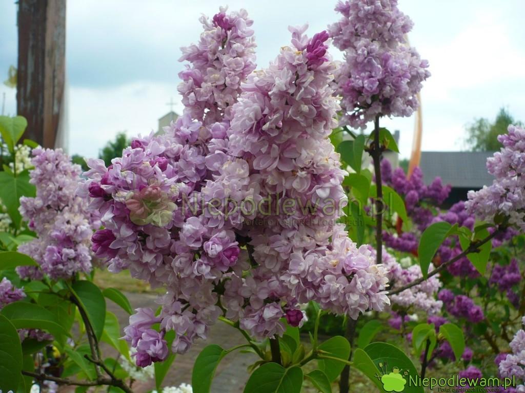 Lilak pospolity jest popularnie nazywany bez. Najwięcej jego odmian kwitnie wmaju (V). Fot.Niepodlewam