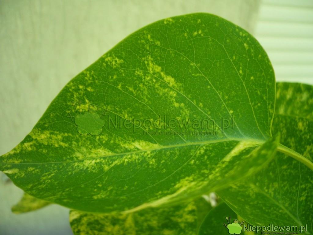 Liść żółto-zielony lilaka pospolitego Aucubeafolia. Fot.Niepodlewam