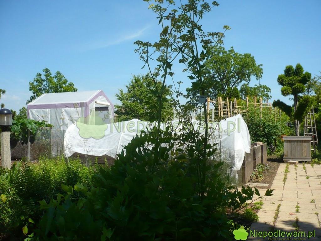 Lubczyk ogrodowy dorasta do 2 m wysokości. Zajmuje co najmniej metr kwadratowy powierzchni. Fot. Niepodlewam