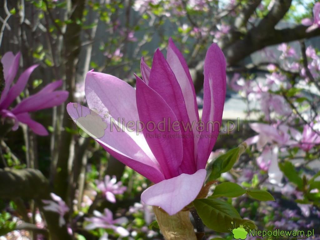 Magnolia Susan ma kwiaty ciemniejsze nazewnątrz ijaśniejsze wewnątrz. Fot.Niepodlewam