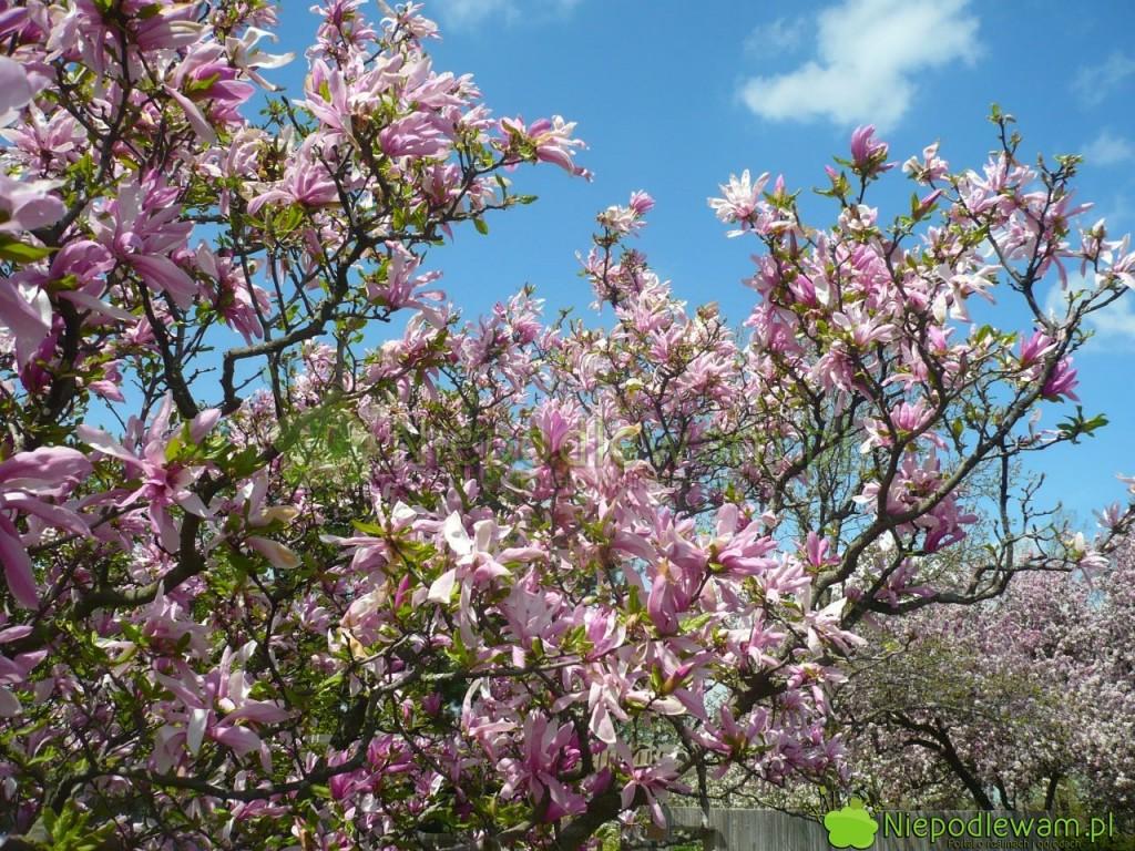 Magnolia Susan toodmiana bardzo odporna iniska. Długo iobficie kwitnie. Fot.Niepodlewam