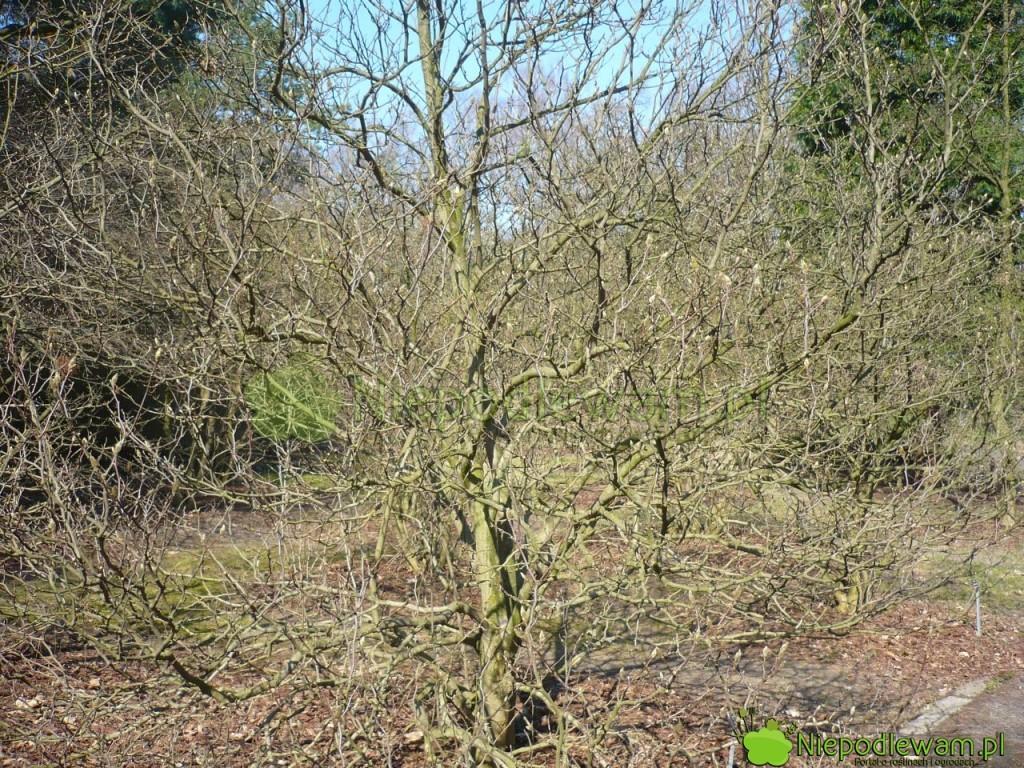 Magnolia Susan tomałe drzewo lub duży krzak. Fot.Niepodlewam
