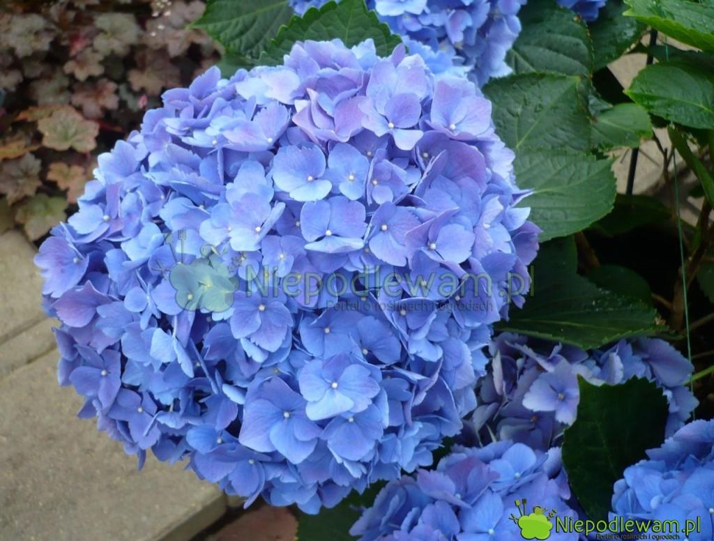 Niebieska hortensja ma takintensywny kolor, jeśli rośnie wkwaśnej ziemi. Niewszystkie odmiany zmieniają kolor naniebieski. Fot.Niepodlewam