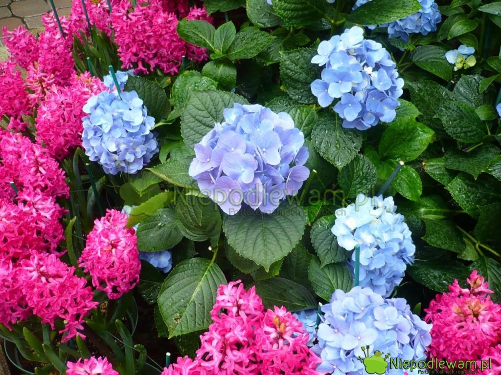 Piękna kompozycja kolorystyczna: niebieskie hortensje i różowe hiacynty wschodnie Jan Bos. Fot. Niepodleam
