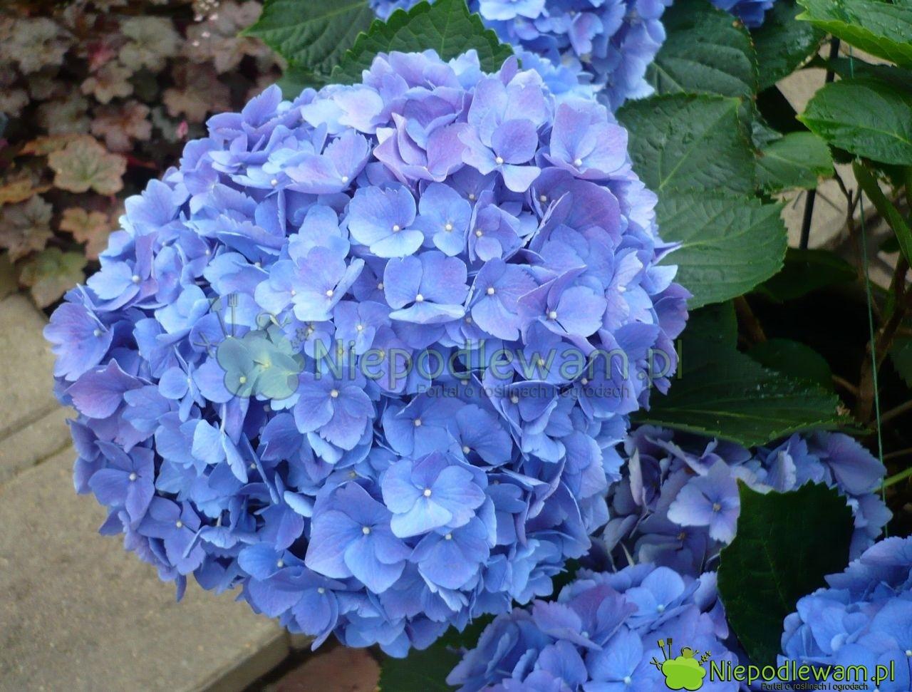 Niebieska hortensja ma tak intensywny kolor, jeśli rośnie w kwaśnej ziemi. Nie wszystkie odmiany zmieniają kolor na niebieski. Fot. Niepodlewam