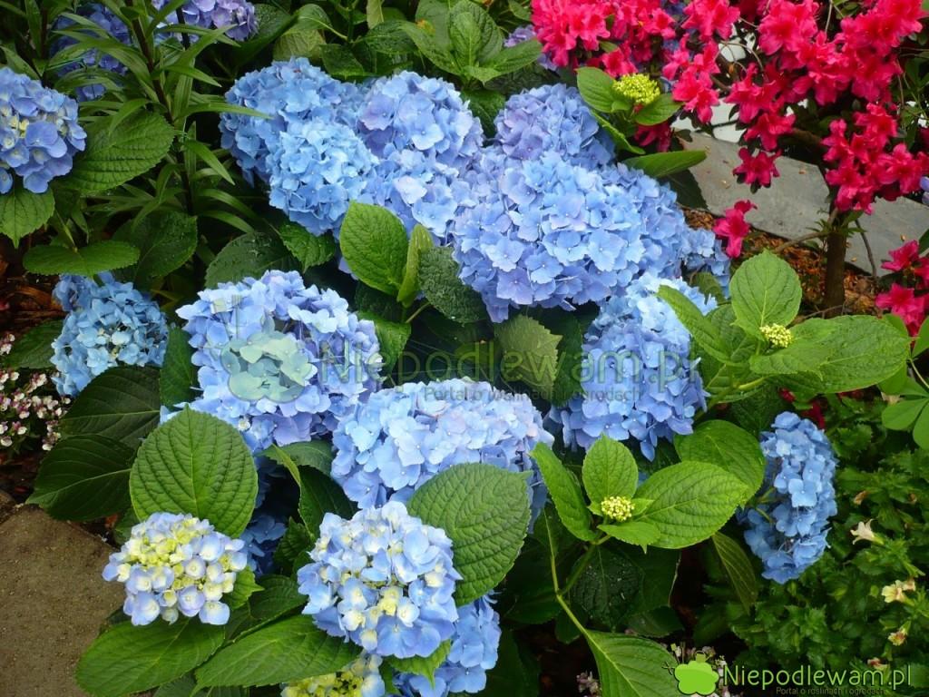 Gdy najmłodsze kwiaty niebieskich hortensji są blade, to znak, że są za mało zasilane nawozami o kwaśnym odczynie. Fot. Niepodlewam