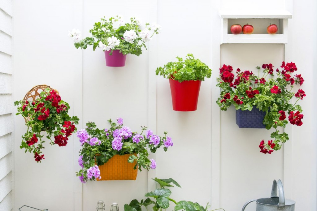 Pelargonie bluszczolistne na ścianie balkonu. Fot. Pelargonium for Europe