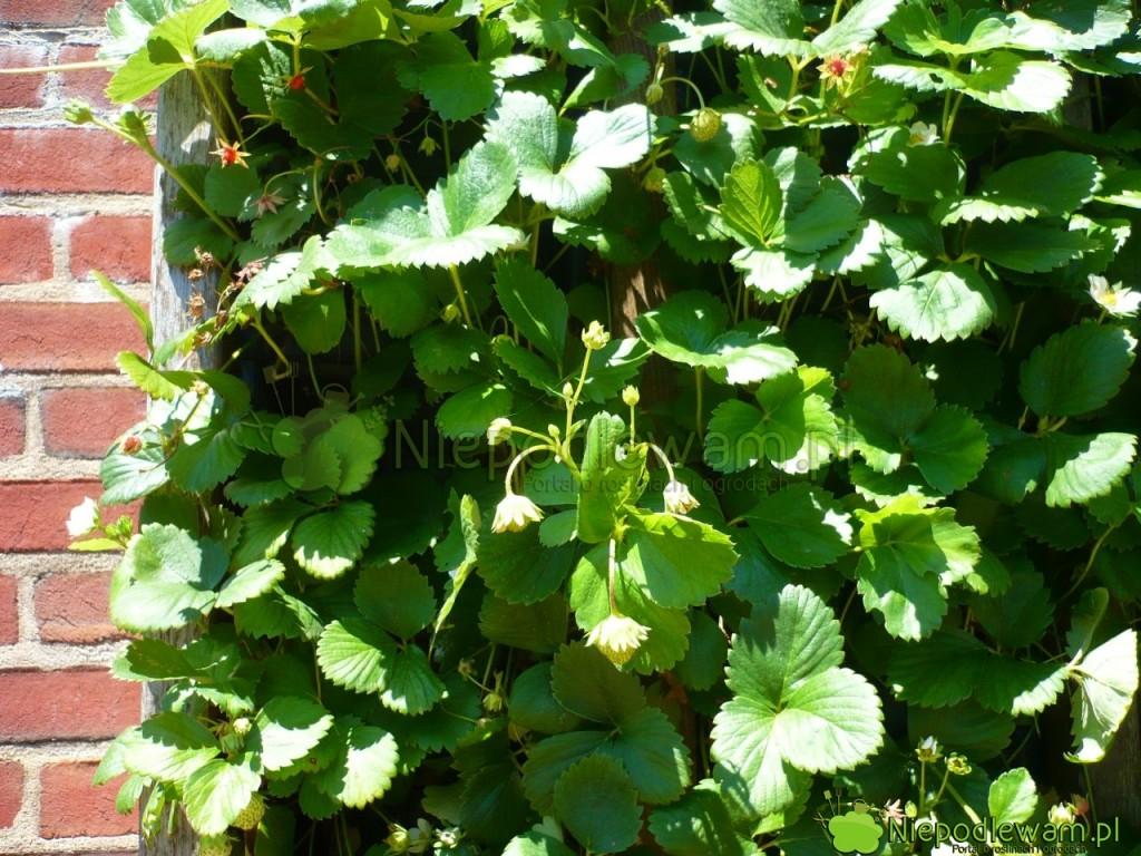 Ogrody pionowe ztruskawkami naceglanej ścianie todekoracja iświeże owoce. Fot.Niepodlewam