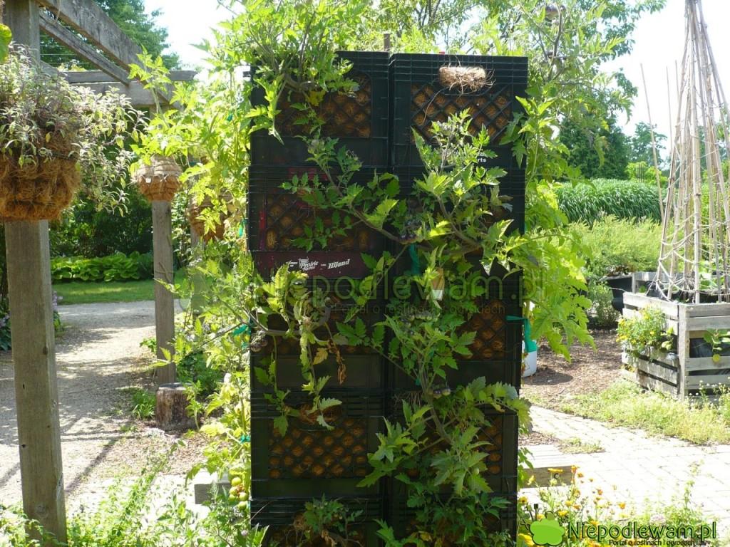 Wieża zeskrzynek plastikowych douprawy pomidorów. Fot.Niepodlewam