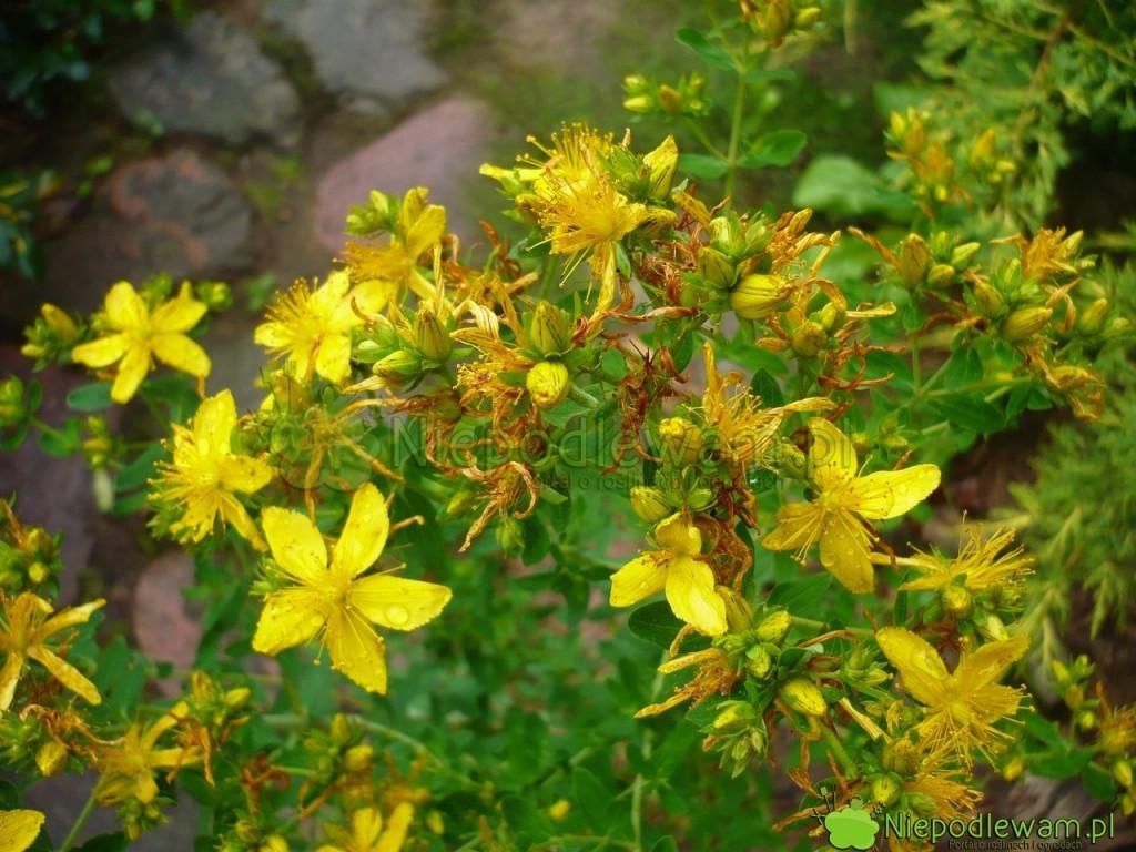 Dziurawiec zwyczajny to popularne zioło m.in. na depresję. Kitnie na żółto. Fot. Niepodlewam