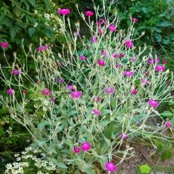 Firletka kwiecista zwykle kwitnie na różowo. Jest świetna do ogrodów w stylu naturalnym, wiejskich, letniskowych. Fot. Niepodlewam