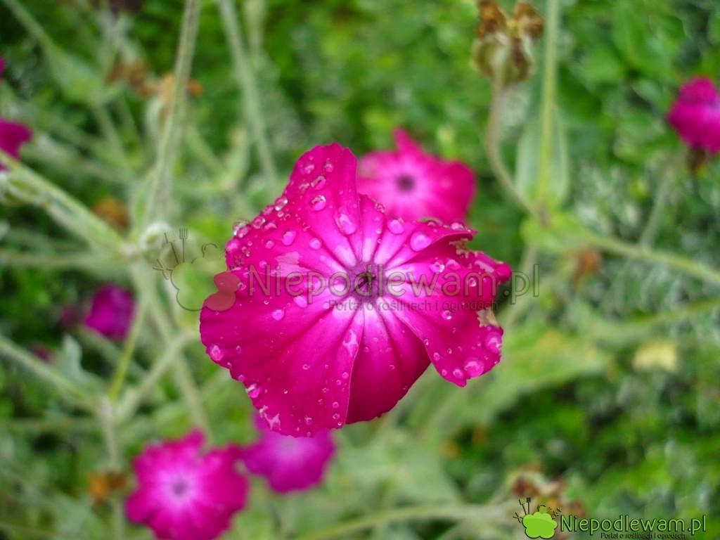 Kwiat firletki kwiecistej wtypowym, różowym kolorze. Fot.Niepodlewam