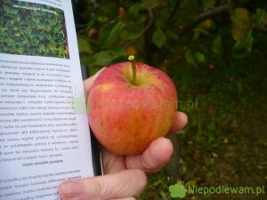 Jabłoń Szlachetne Czerwone to stara, bardzo rzadka odmiana. Rys. Niepodlewam na podstawie ryciny z XIX wieku