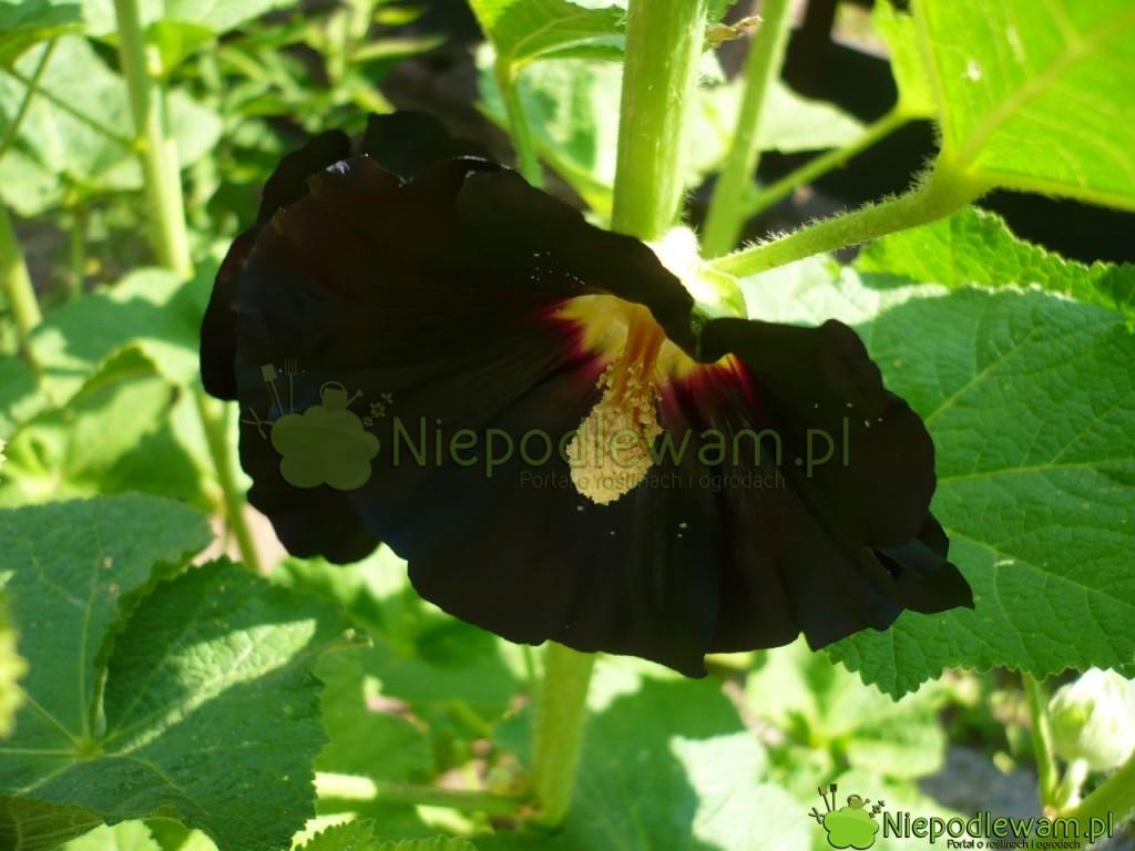 Malwa czarna Nigra. Fot. Niepodlewam