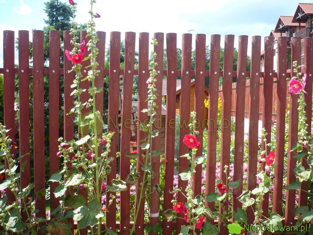 Malwy dorastają do około 250 cm. Warto je sadzić przy ogrodzeniach. Fot. Niepodlewam