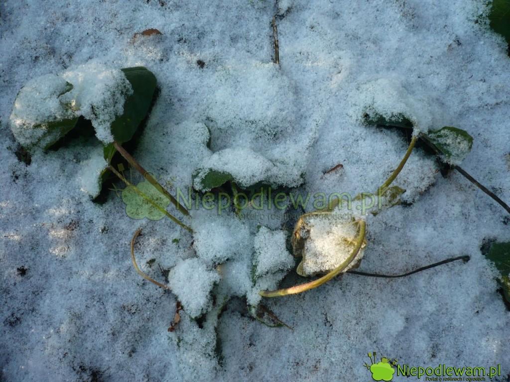 Młode malwy tracą liście na zimę. Są odporne na mróz. Fot. Niepodlewam