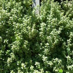 Tymianek cytrynowy mocno pachnie z nutą cytrusową. Na zdjęciu: odmiana Aureus. Fot. Niepodlewam