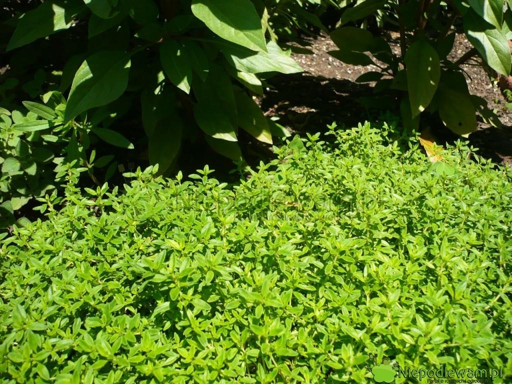 Tymianek cytrynowy najlepiej rośnie wsłonecznych miejscach. Fot.Niepodlewam