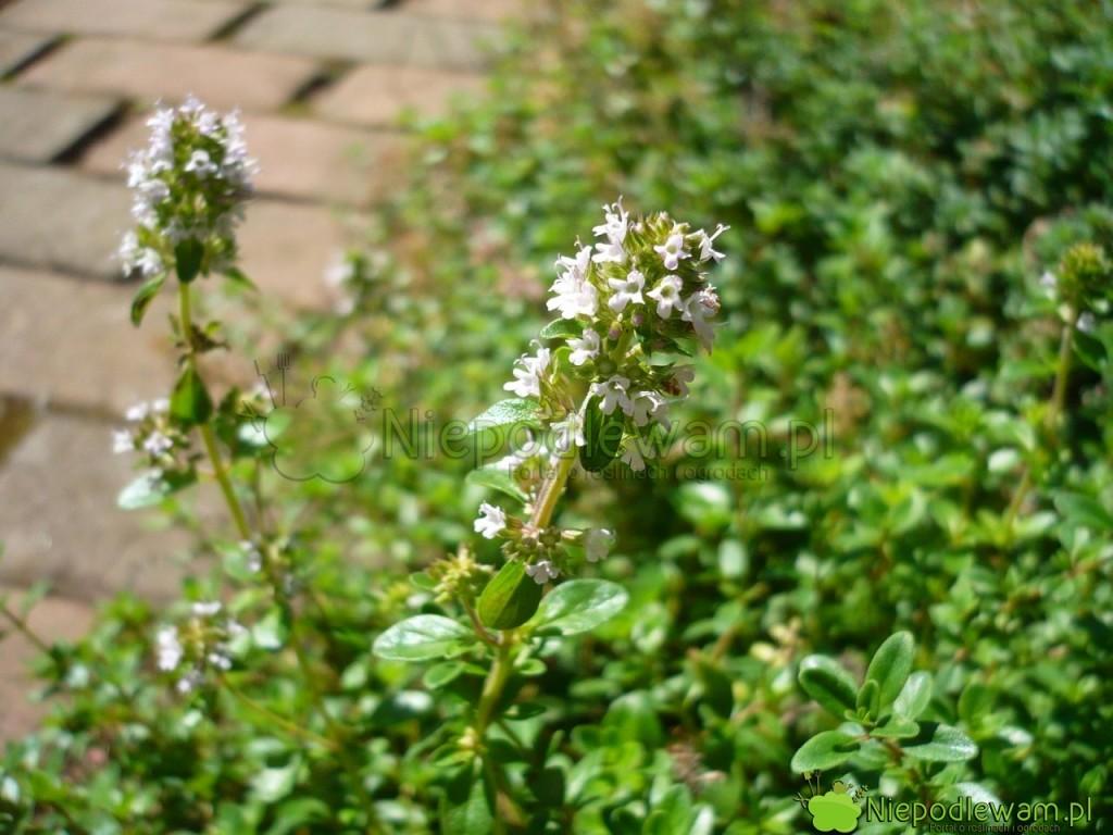 Kwiaty tymianku cytrynowego także są jadalne. Fot.Niepodlewam