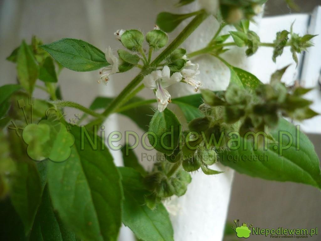 Kwiaty bazylii cytrynowej są białe. Fot.Niepodlewam