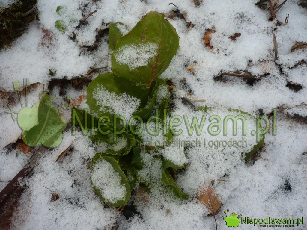 Endywia pod śniegiem. Fot. Niepodlewam