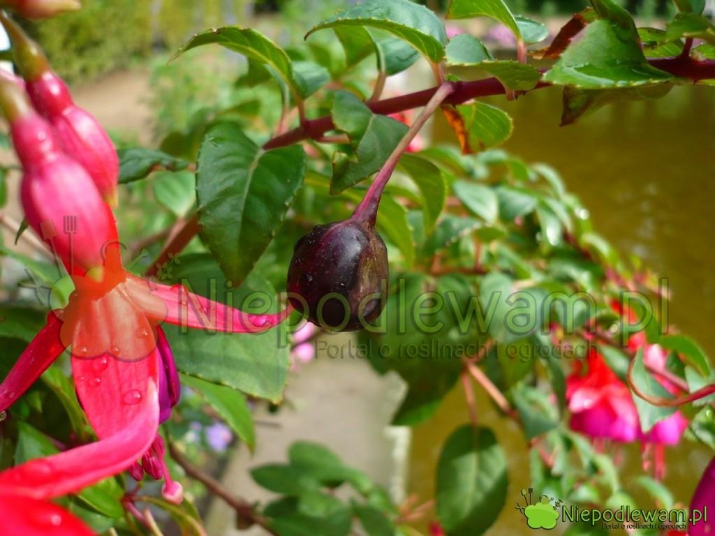 Fuksje dość rzadko zawiązuje owoce (jagody) z nasionami. Fot. Niepodlewam