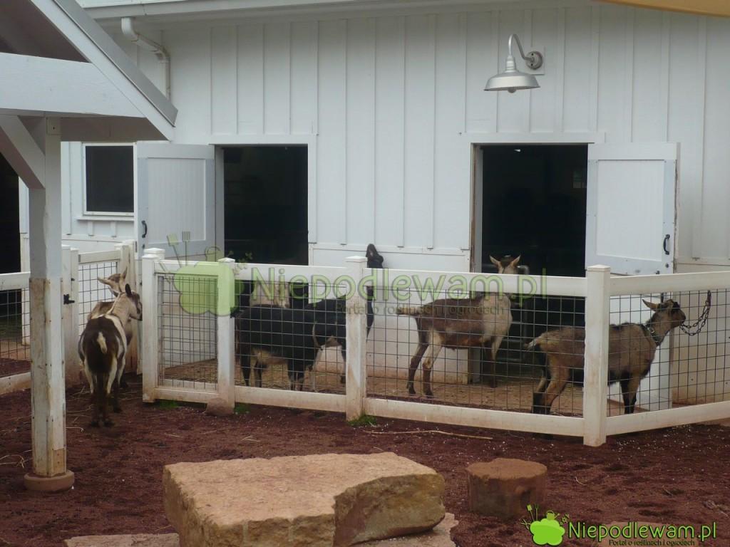 Obornik kozi jest dobrym, naturalnym nawozem doogrodu. Ma zwykle więcej azotu niż np.obornik krowi. Fot.Niepodlewam