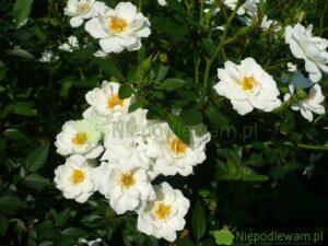 Róża White Cover ma białe kwiaty. Delikatnie pachną. Fot. Niepodlewam