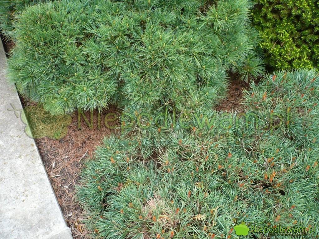 Sosny pospolite Albyn`s (z rudymi kwiatami męśkimi) oraz Leclaire (z zielonymi kwiatami męskimi). Fot. Niepodlewam