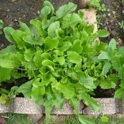 Szczaw to warzywo wieloletnie. Fot. niepodlewam