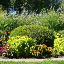 W ogrodach uprawia się różne gatunki cisów. Nadają się np. do strzyżenia w rozmaite figury oraz na żywopłoty. Fot. Niepodlewam