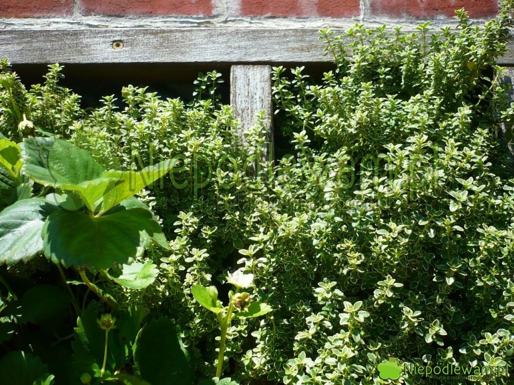 Tymianek cytrynowy Aureus jest też ładną rośliną ozdobną. Fot. Niepodlewam