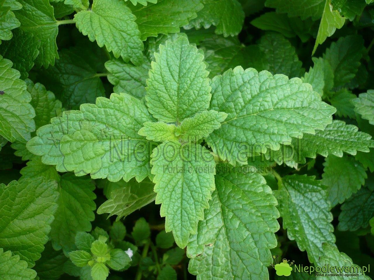 Melisa lekarska ma liście podobne do mięty. Pachnie mocno, z nutami mięty i cytryny. Fot. Niepodlewam