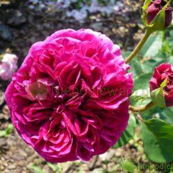 Kwiaty róży Falstaff wyglądają jak malinowe piwonie lub dalie. Ślicznie, mocno pachną. Fot. Niepodlewam