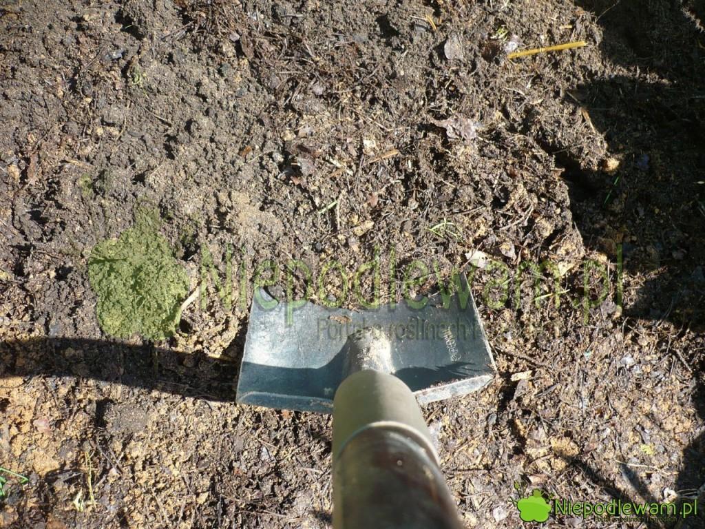 Przed posadzeniem truskawek ziemię przekopuje się płytko z kompostem. Fot. Niepodlewam