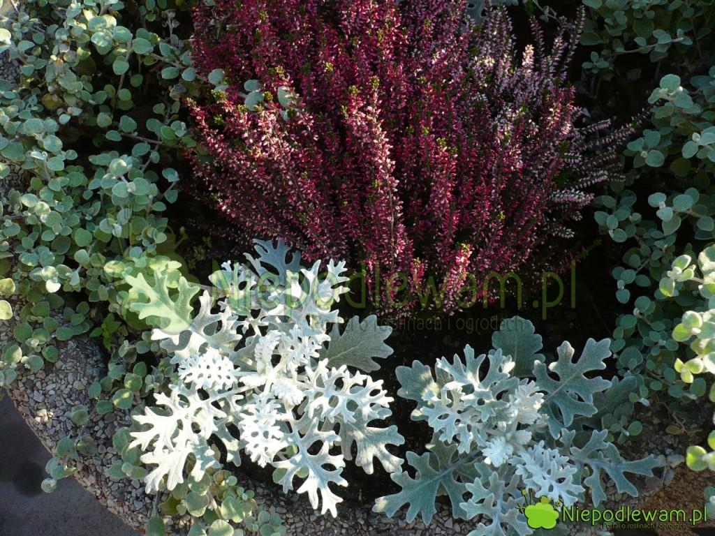 Jesienią mrozy można łączyć w kolorowe kompozycje z wrzosami. Fot. Niepodlewam