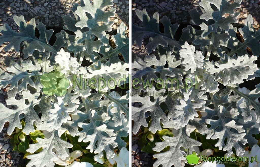 Starzec popielny wsłońcu (polewej stronie) wydaje się bardziej srebrzysty, niż przy lekkim zachmurzeniu (poprawej stronie). Fot.Niepodlewam